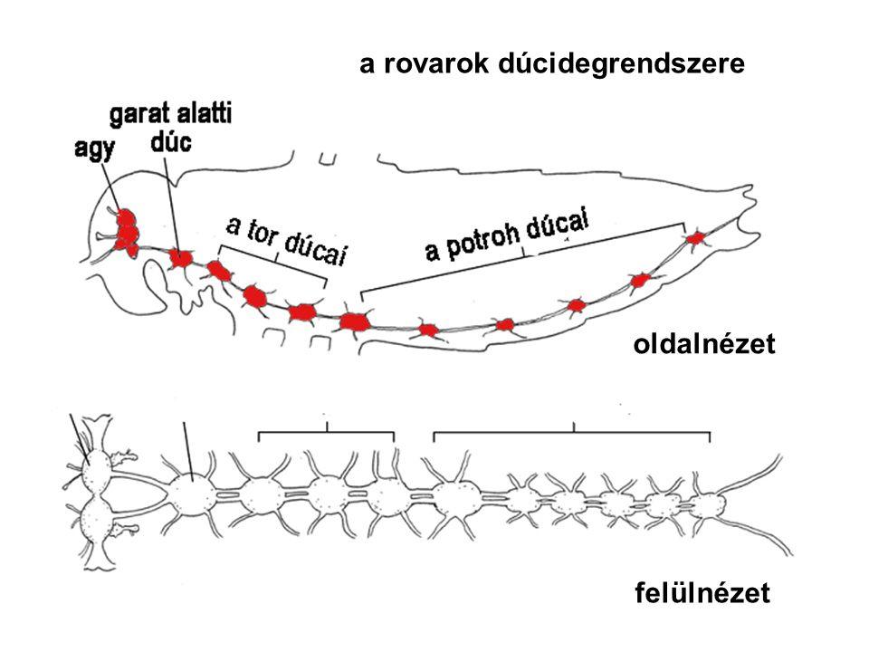 b) CSŐIDEGRENDSZER - elő- és fejgerinchúrosok - gerincesek - lokalizált ingerválasz - fejlődés: az embrió velőcsövéből: 1.