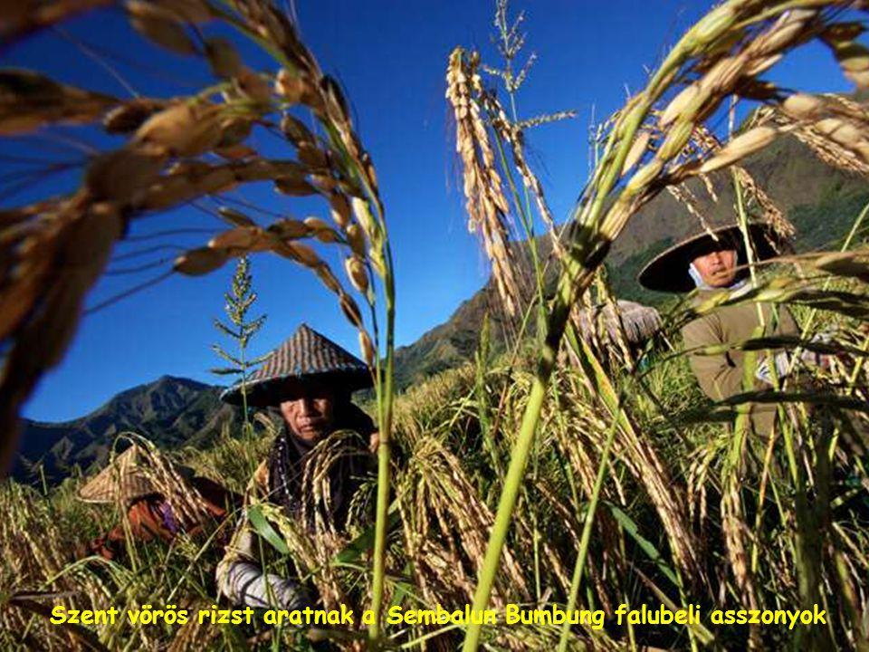 Haji Nursasih hazafelé tart az aratásból, szent vörös rizst visz