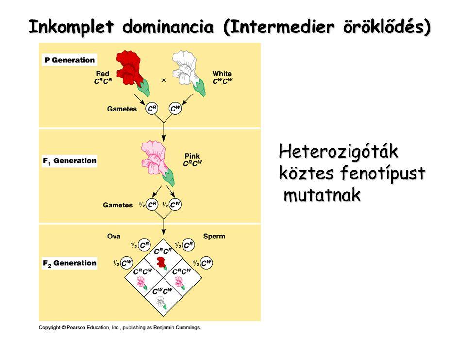 Inkomplet dominancia (Intermedier öröklődés) Heterozigóták köztes fenotípust mutatnak mutatnak