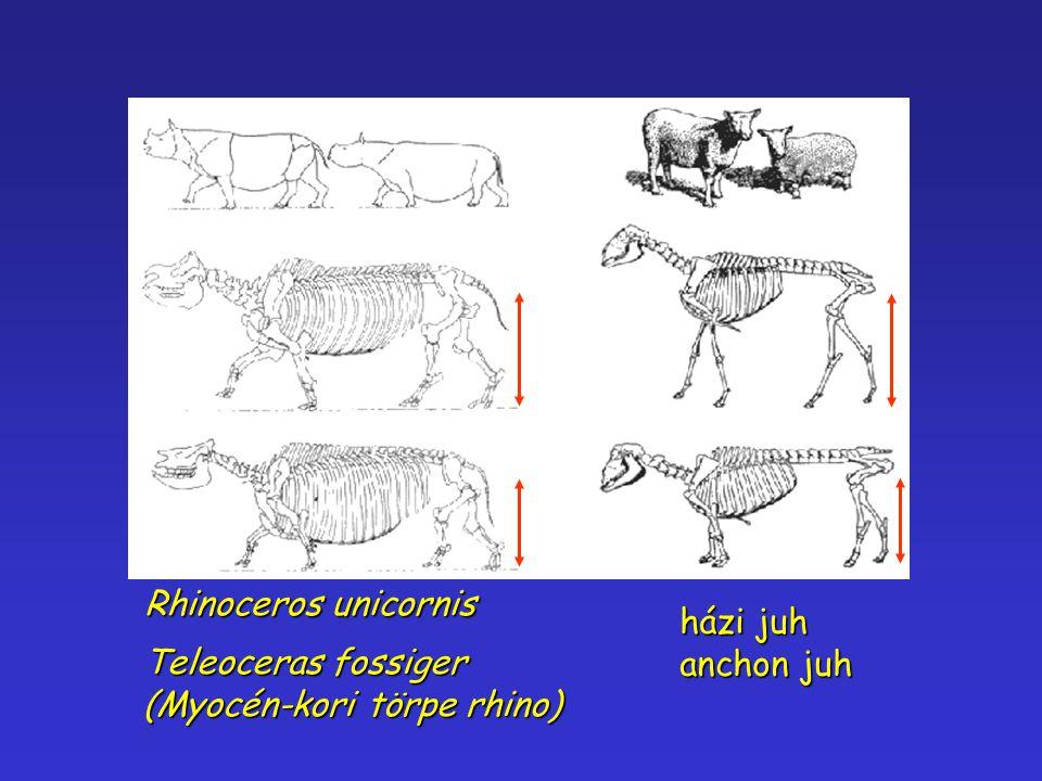 Rhinoceros unicornis Teleoceras fossiger (Myocén-kori törpe rhino) házi juh anchon juh