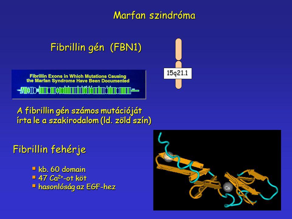 Fibrillin gén (FBN1) A fibrillin gén számos mutációját írta le a szakirodalom (ld. zöld szín) Marfan szindróma Fibrillin fehérje  kb. 60 domain  47