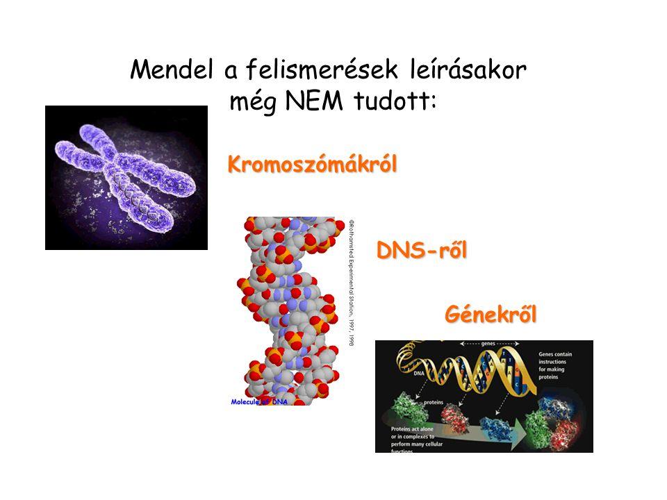 Mendel a felismerések leírásakor még NEM tudott: Kromoszómákról DNS-ről Génekről