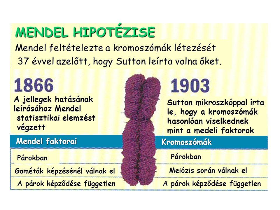 Mendel feltételezte a kromoszómák létezését 37 évvel azelőtt, hogy Sutton leírta volna őket. 37 évvel azelőtt, hogy Sutton leírta volna őket. A jelleg