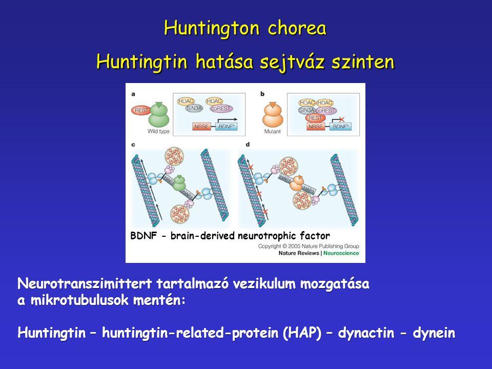 Neurotranszimittert tartalmazó vezikulum mozgatása a mikrotubulusok mentén: Huntingtin – huntingtin-related-protein (HAP) – dynactin - dynein Huntingt
