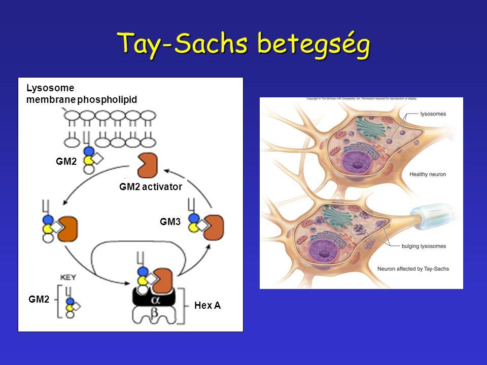 Tay-Sachs betegség Lysosome membrane phospholipid GM3 GM2 activator GM2 Hex A