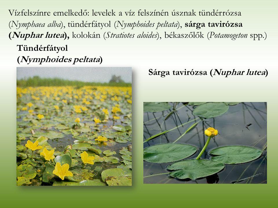 Tündérfátyol (Nymphoides peltata) Vízfelszínre emelkedő: levelek a víz felszínén úsznak tündérrózsa (Nymphaea alba), tündérfátyol (Nymphoides peltata)