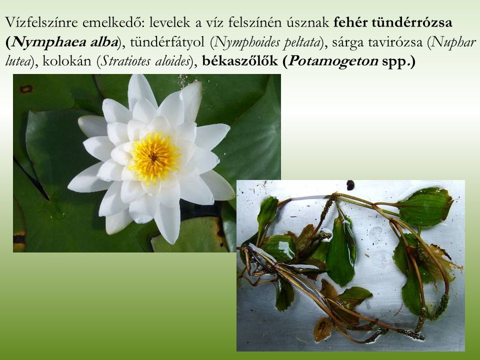 Vízfelszínre emelkedő: levelek a víz felszínén úsznak fehér tündérrózsa (Nymphaea alba), tündérfátyol (Nymphoides peltata), sárga tavirózsa (Nuphar lu