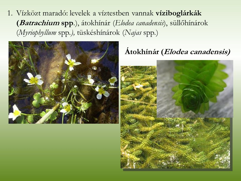 Átokhínár (Elodea canadensis) 1.Vízközt maradó: levelek a víztestben vannak víziboglárkák (Batrachium spp.), átokhínár (Elodea canadensis), süllőhínár