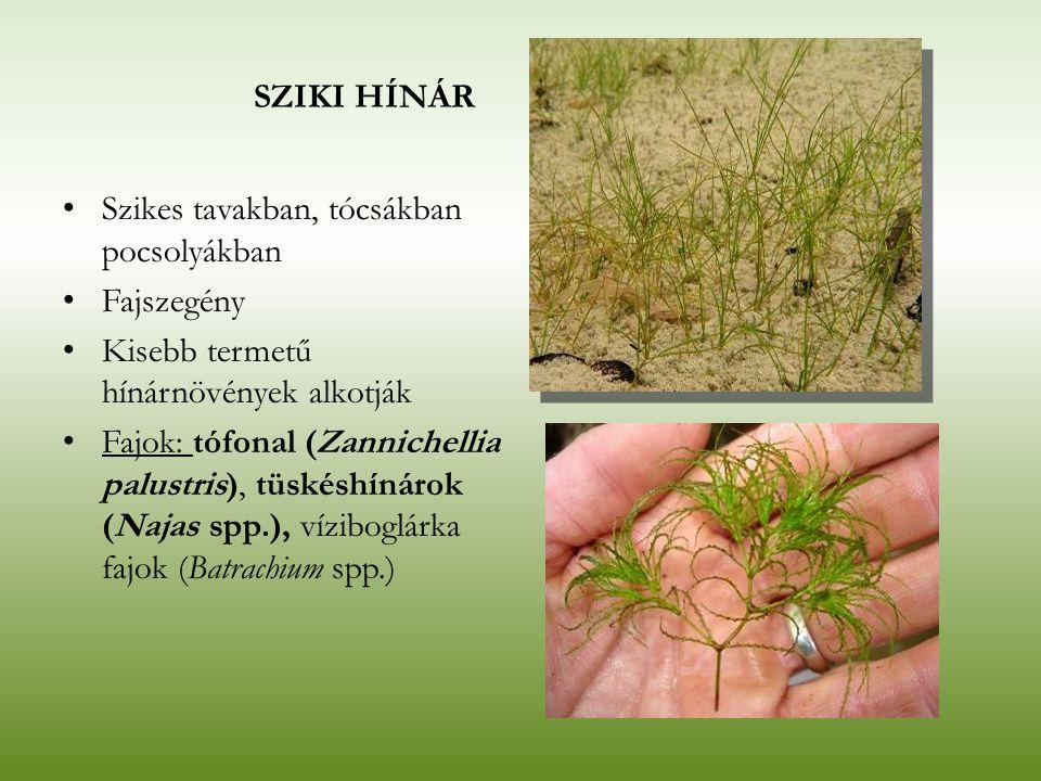 SZIKI HÍNÁR Szikes tavakban, tócsákban pocsolyákban Fajszegény Kisebb termetű hínárnövények alkotják Fajok: tófonal (Zannichellia palustris), tüskéshí