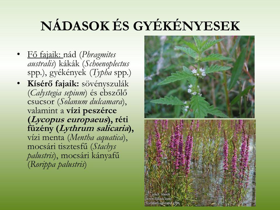 NÁDASOK ÉS GYÉKÉNYESEK Fő fajaik: nád (Phragmites australis) kákák (Schoenoplectus spp.), gyékények (Typha spp.) Kísérő fajaik: sövényszulák (Calysteg