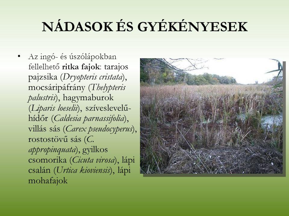 NÁDASOK ÉS GYÉKÉNYESEK Az ingó- és úszólápokban fellelhető ritka fajok: tarajos pajzsika (Dryopteris cristata), mocsáripáfrány (Thelypteris palustris)