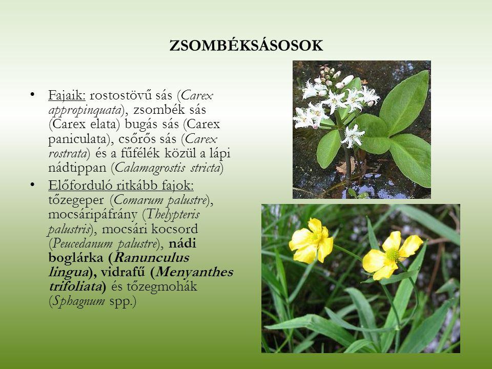 ZSOMBÉKSÁSOSOK Fajaik: rostostövű sás (Carex appropinquata), zsombék sás (Carex elata) bugás sás (Carex paniculata), csőrős sás (Carex rostrata) és a