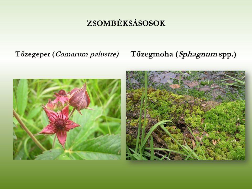 ZSOMBÉKSÁSOSOK Tőzegeper (Comarum palustre) Tőzegmoha (Sphagnum spp.)