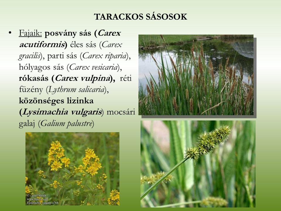 TARACKOS SÁSOSOK Fajaik: posvány sás (Carex acutiformis) éles sás (Carex gracilis), parti sás (Carex riparia), hólyagos sás (Carex vesicaria), rókasás