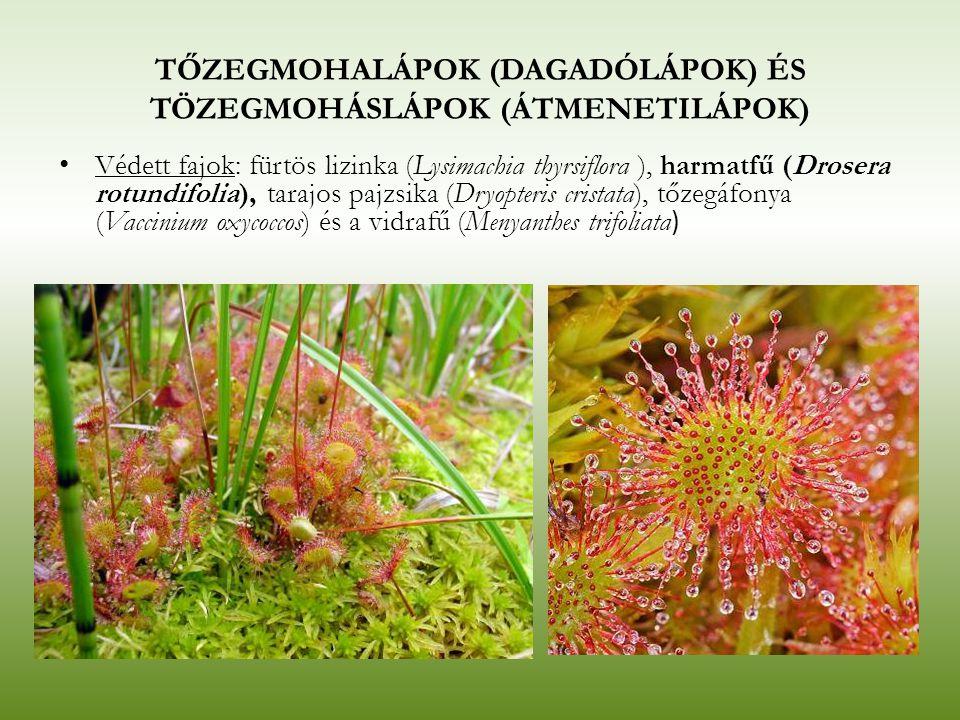 TŐZEGMOHALÁPOK (DAGADÓLÁPOK) ÉS TÖZEGMOHÁSLÁPOK (ÁTMENETILÁPOK) Védett fajok: fürtös lizinka (Lysimachia thyrsiflora ), harmatfű (Drosera rotundifolia