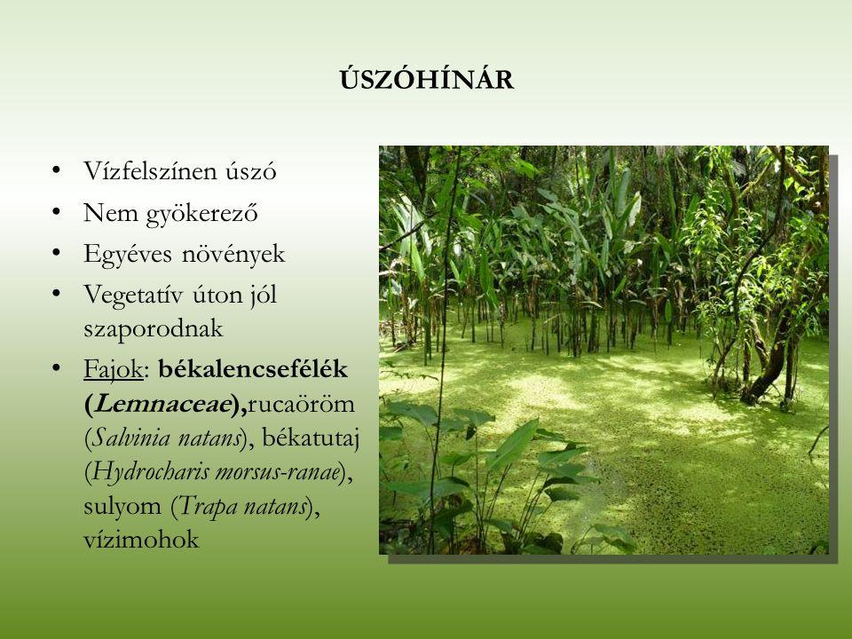 ÚSZÓHÍNÁR Vízfelszínen úszó Nem gyökerező Egyéves növények Vegetatív úton jól szaporodnak Fajok: békalencsefélék (Lemnaceae),rucaöröm (Salvinia natans