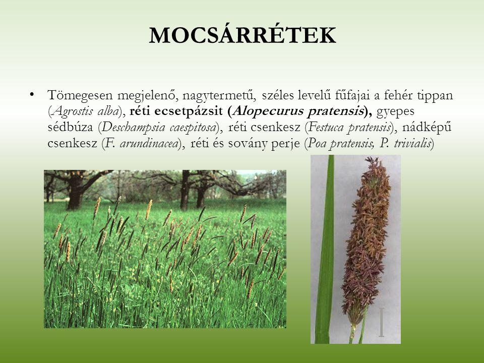 MOCSÁRRÉTEK Tömegesen megjelenő, nagytermetű, széles levelű fűfajai a fehér tippan (Agrostis alba), réti ecsetpázsit (Alopecurus pratensis), gyepes sé
