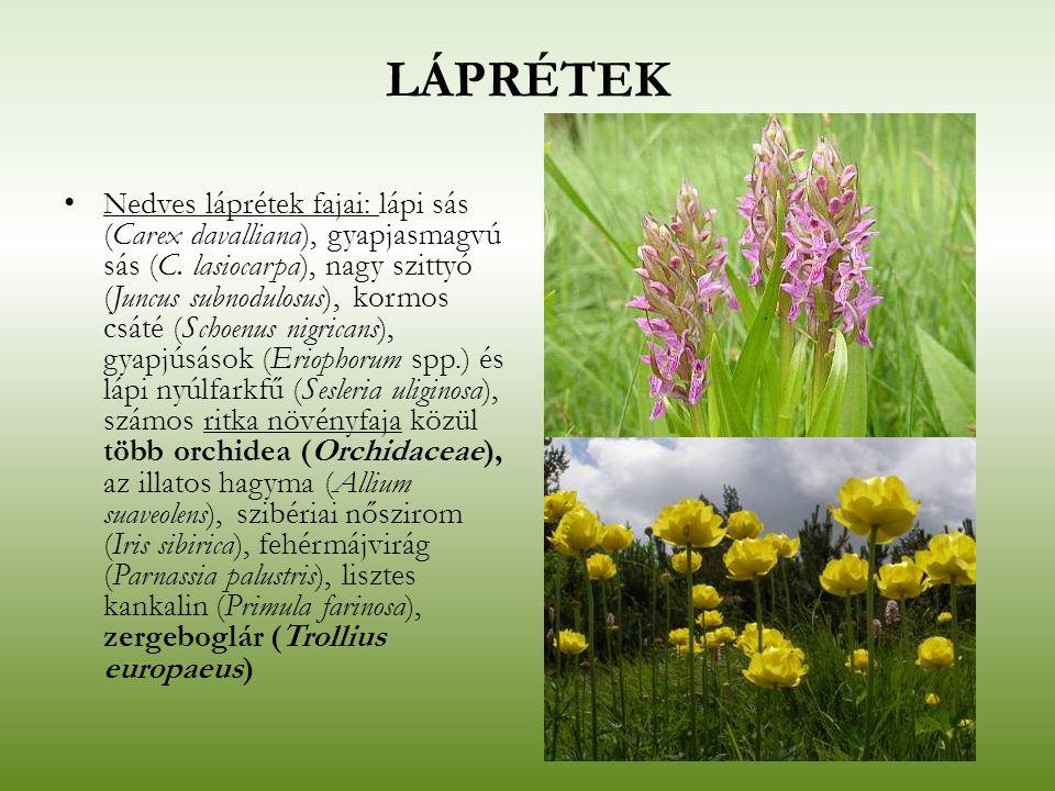 LÁPRÉTEK Nedves láprétek fajai: lápi sás (Carex davalliana), gyapjasmagvú sás (C. lasiocarpa), nagy szittyó (Juncus subnodulosus), kormos csáté (Schoe