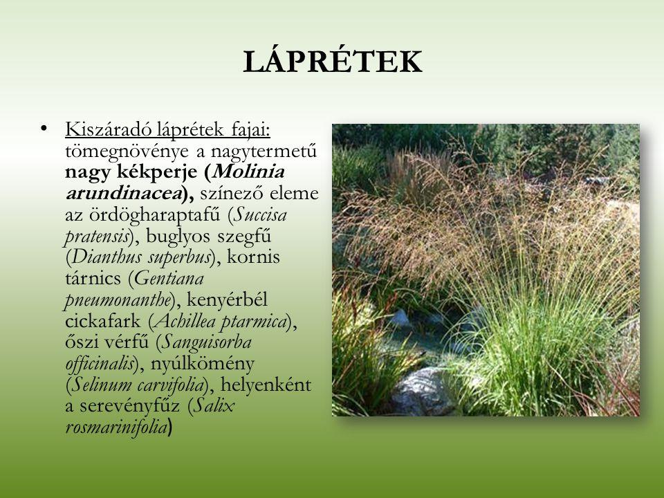 LÁPRÉTEK Kiszáradó láprétek fajai: tömegnövénye a nagytermetű nagy kékperje (Molinia arundinacea), színező eleme az ördögharaptafű (Succisa pratensis)