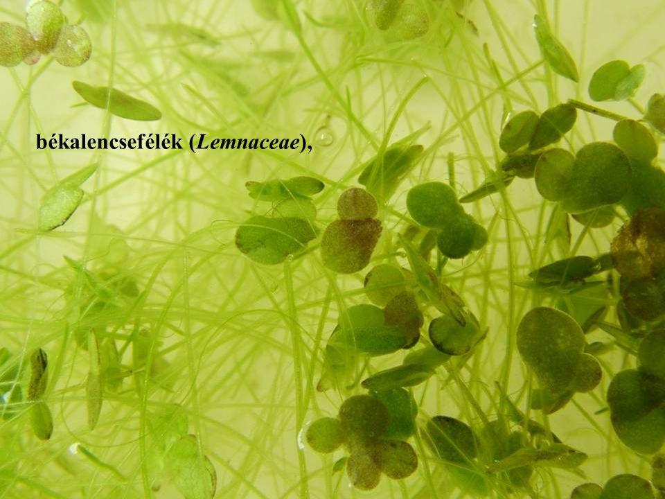 békalencsefélék (Lemnaceae),