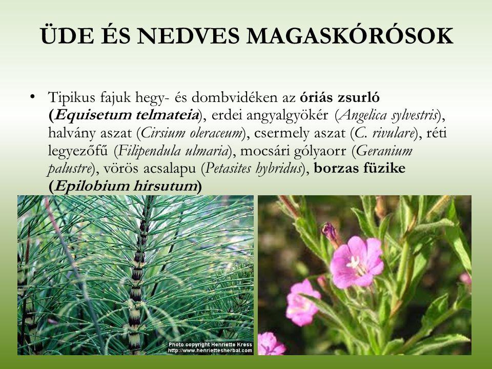ÜDE ÉS NEDVES MAGASKÓRÓSOK Tipikus fajuk hegy- és dombvidéken az óriás zsurló (Equisetum telmateia), erdei angyalgyökér (Angelica sylvestris), halvány