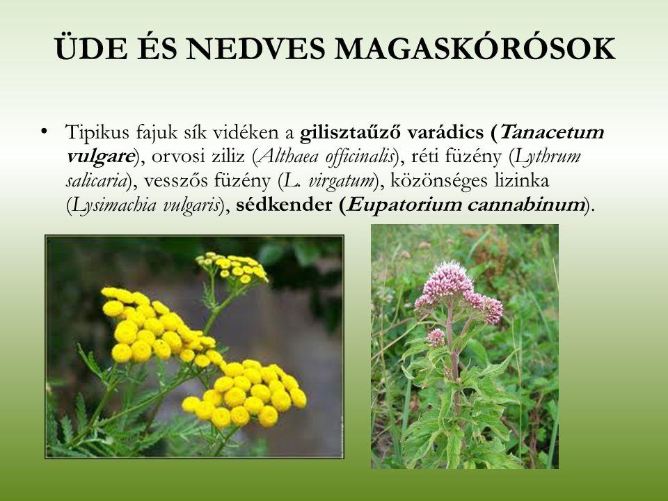 ÜDE ÉS NEDVES MAGASKÓRÓSOK Tipikus fajuk sík vidéken a gilisztaűző varádics (Tanacetum vulgare), orvosi ziliz (Althaea officinalis), réti füzény (Lyth