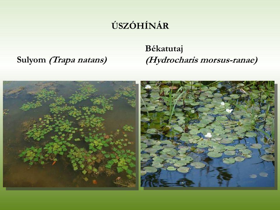LEBEGŐHÍNÁR Nem gyökerező Víztestben lebegő fajok Főleg láptavakban Fajok: békaliliom (Hottonia palustris),rencék (Utricularia spp.), aldrovanda (Aldrovanda vesiculosa), moszatok (Chara spp.)