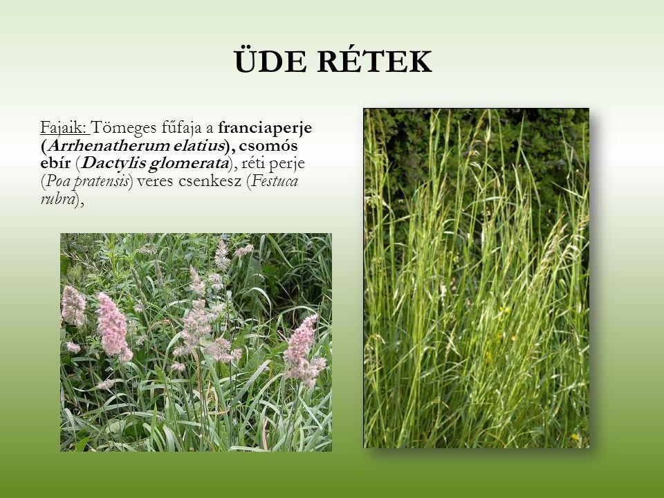 ÜDE RÉTEK Fajaik: Tömeges fűfaja a franciaperje (Arrhenatherum elatius), csomós ebír (Dactylis glomerata), réti perje (Poa pratensis) veres csenkesz (