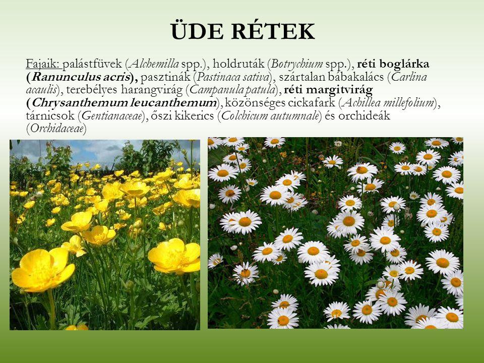 ÜDE RÉTEK Fajaik: palástfüvek (Alchemilla spp.), holdruták (Botrychium spp.), réti boglárka (Ranunculus acris), pasztinák (Pastinaca sativa), szártala
