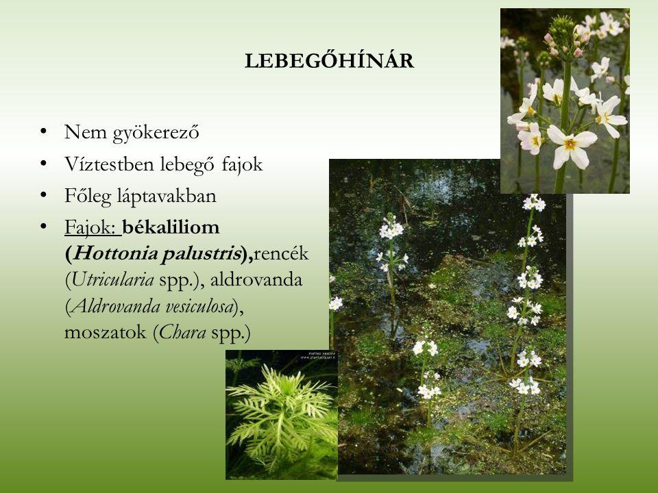 LEBEGŐHÍNÁR Nem gyökerező Víztestben lebegő fajok Főleg láptavakban Fajok: békaliliom (Hottonia palustris),rencék (Utricularia spp.), aldrovanda (Aldr