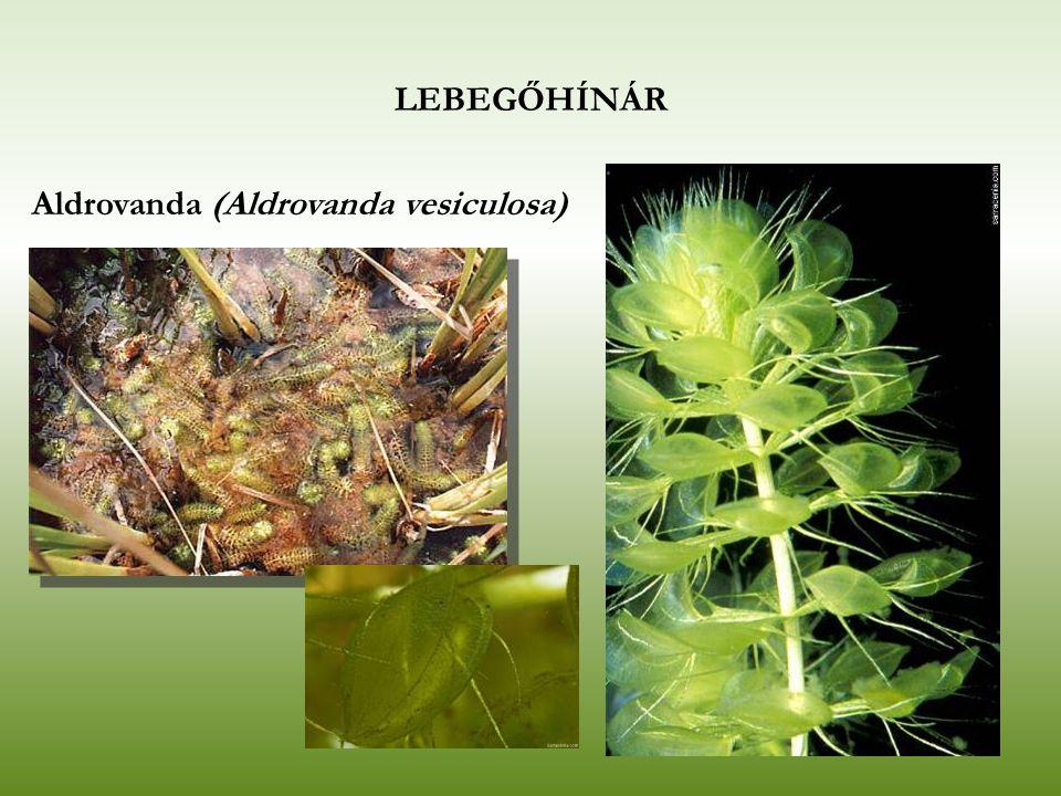 LEBEGŐHÍNÁR Közönséges rence (Utricularia vulgaris)