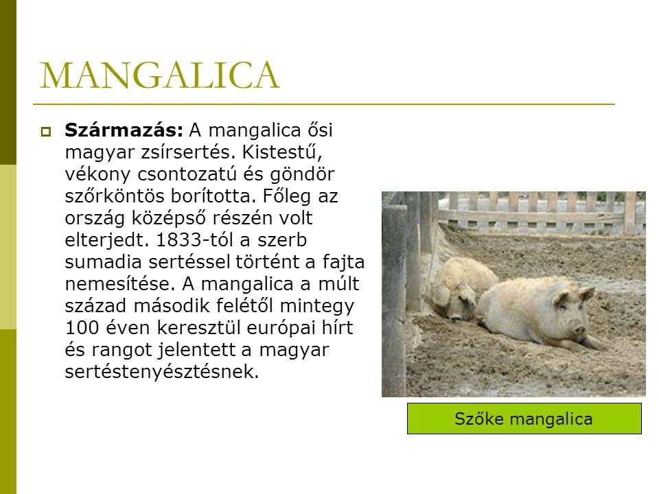 MANGALICA  Származás: A mangalica ősi magyar zsírsertés.