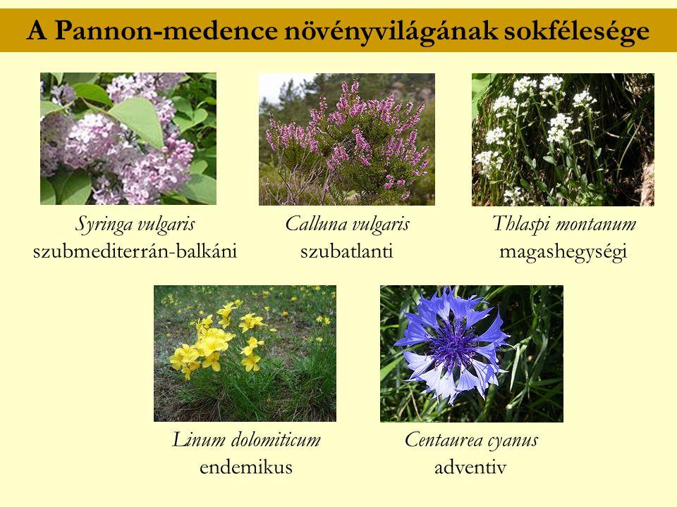 A Pannon-medence növényvilágának sokfélesége Syringa vulgaris szubmediterrán-balkáni Calluna vulgaris szubatlanti Thlaspi montanum magashegységi Linum