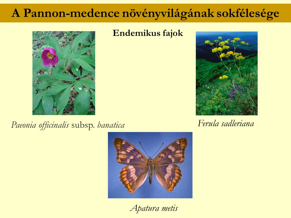A Pannon-medence növényvilágának sokfélesége Ferula sadleriana Endemikus fajok Paeonia officinalis subsp. banatica Apatura metis