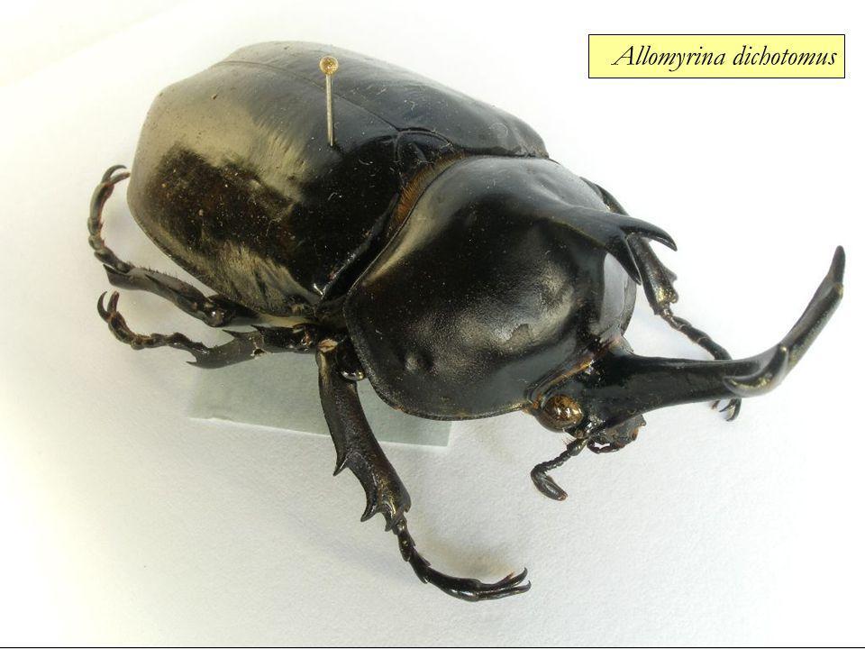 Allomyrina dichotomus