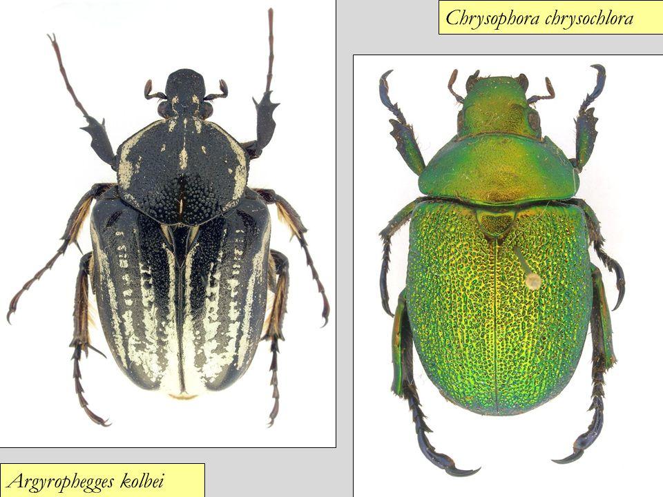 Argyrophegges kolbei Chrysophora chrysochlora