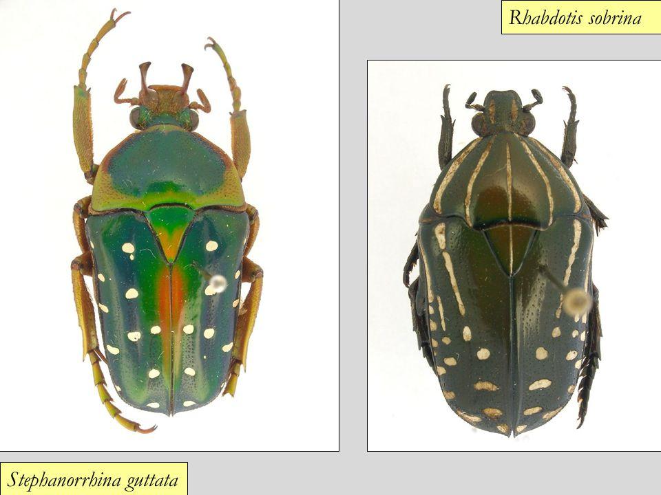 Stephanorrhina guttata Rhabdotis sobrina