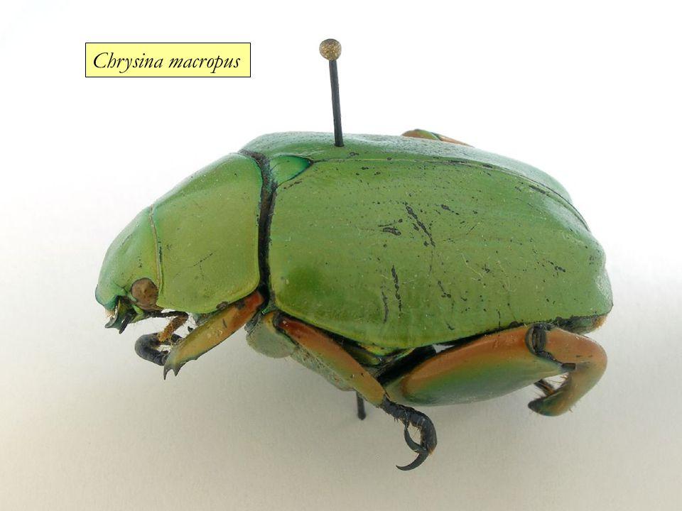 Chrysina macropus