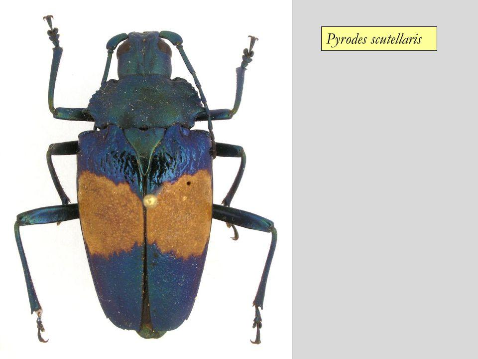 Pyrodes scutellaris