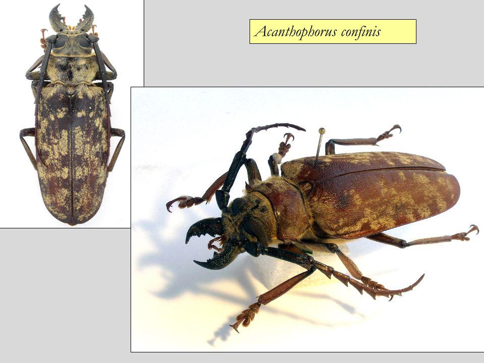 Acanthophorus confinis