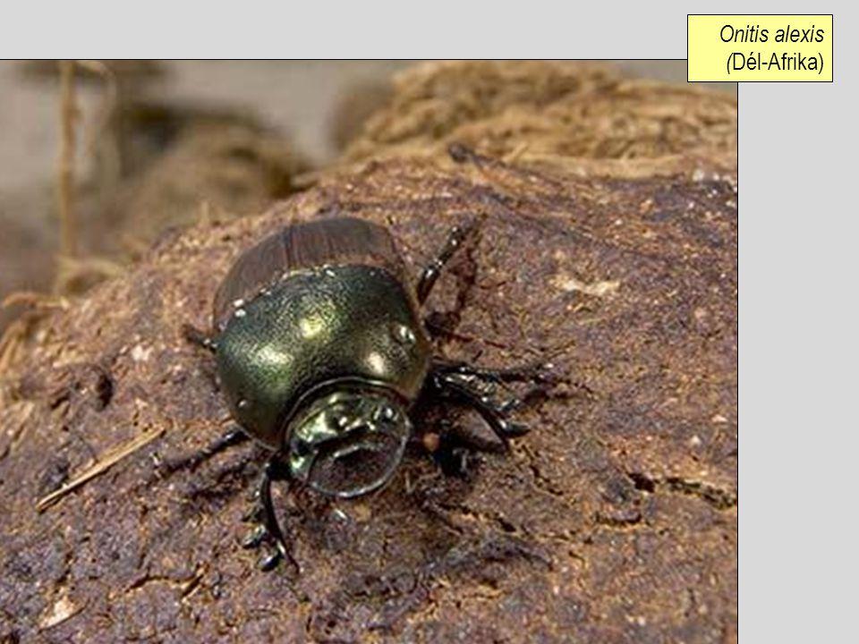 Onitis alexis ( Dél-Afrika)
