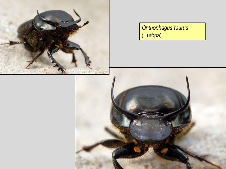 Onthophagus taurus (Európa)
