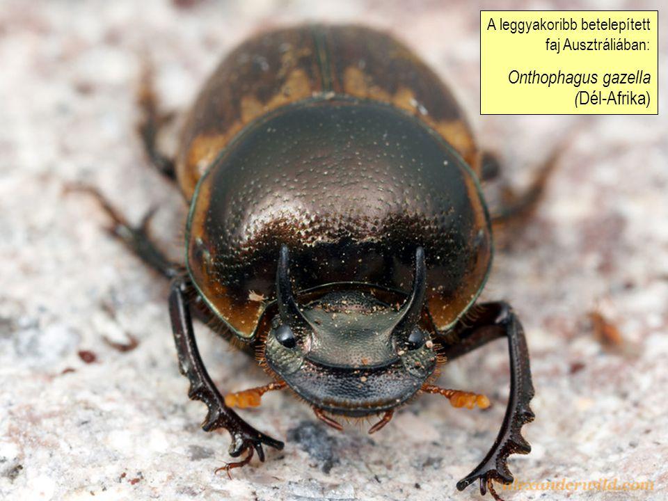 A leggyakoribb betelepített faj Ausztráliában: Onthophagus gazella ( Dél-Afrika)
