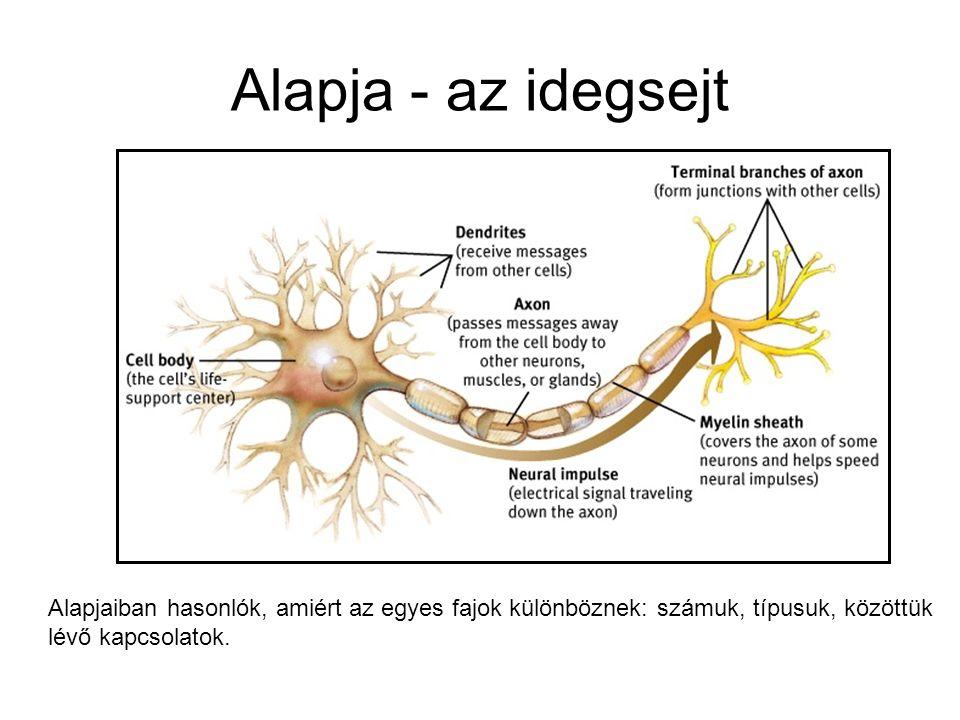 Perifériás idegrendszer Anatómiailag IGEN, de funkcionálisan NEM különül el a KIR-től Részei szomatikus: bőr, izmok, ízületek beidegzése autonóm: visz