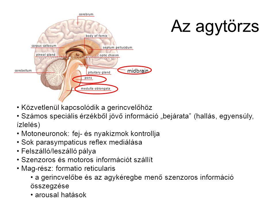 A gerincvelő A KIR legkaudálisabb és legegyszerűbb része Szenzoros információt visz: bőrből, ízületek, vég- tagok,törzs izmaiból, motoneuronokat tarta