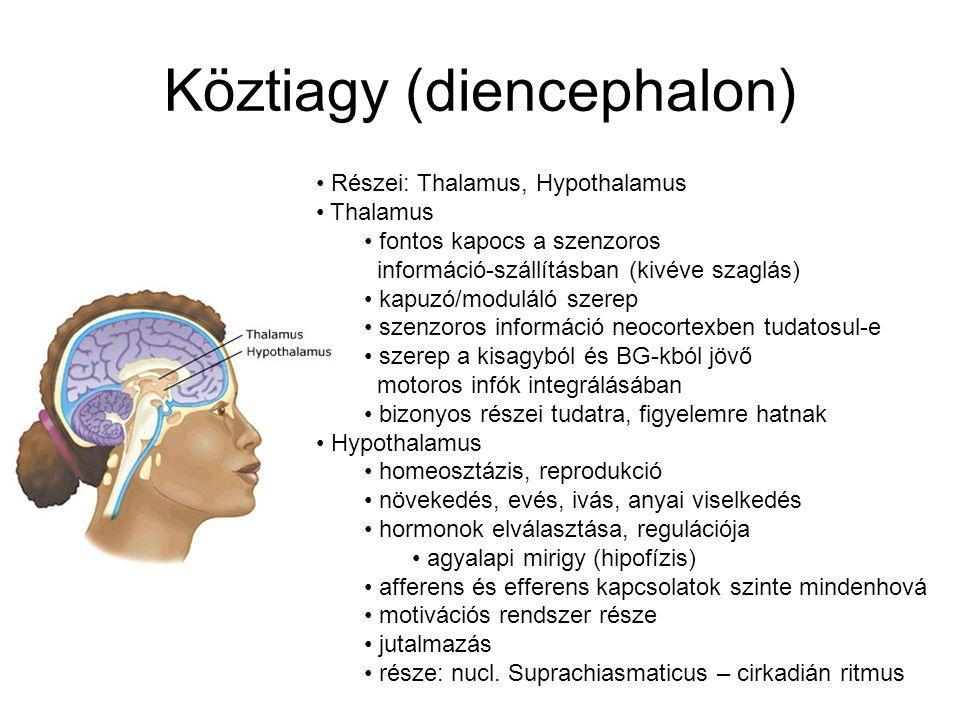 Kisagy (cerebellum) Sokkal több neuron Több lebenyből áll Kap: gerincvelőből szomatoszenzoros input, kéregből motoros input, belső fül vesztibuláris s