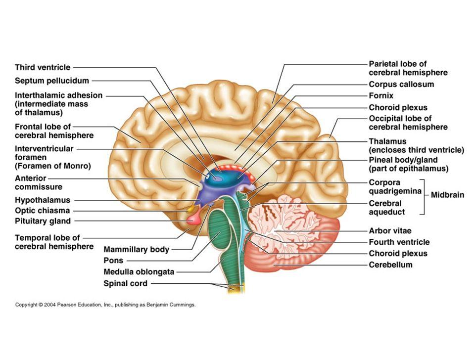 Köztiagy (diencephalon) Részei: Thalamus, Hypothalamus Thalamus fontos kapocs a szenzoros információ-szállításban (kivéve szaglás) kapuzó/moduláló sze