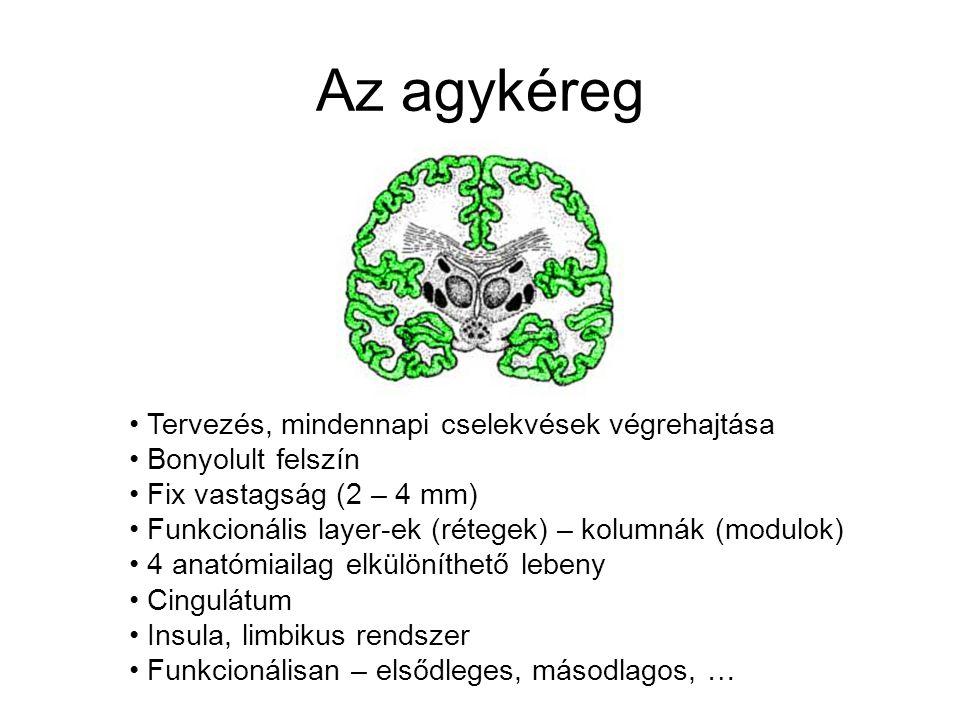 Alapelvek IV. 4. A funkcionális rendszerek hierarchikusan szervezettek 5. Az agy egyik oldalán lévő funkcionális rendszerek a test másik oldalát kontr