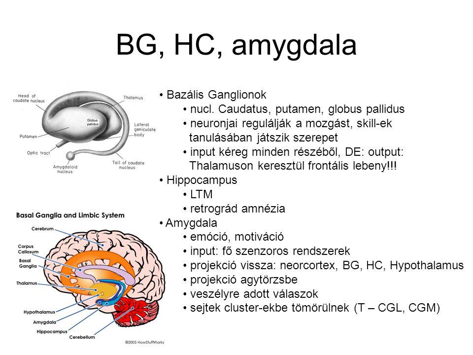 Nucleus Az agy kéregalatti régiói idegsejtjeinek funkcionális csoportja 3 mélyebben fekvő struktúra –BG, hippocampus, amygdala