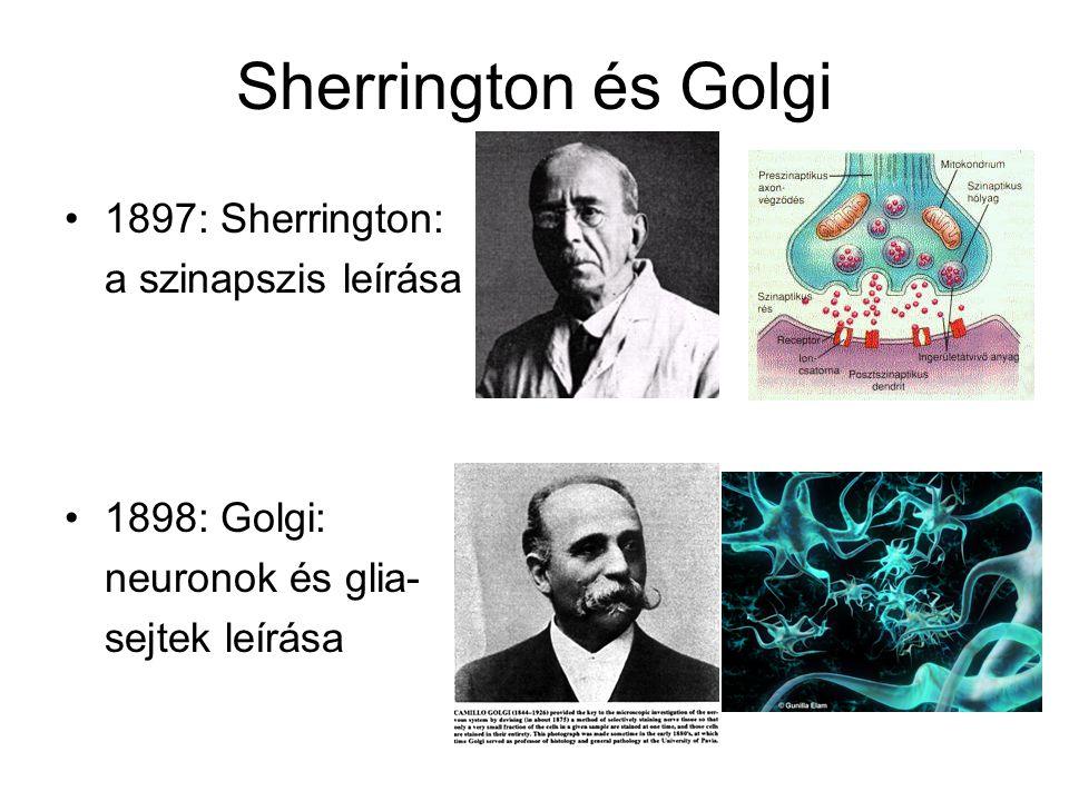 Sherrington és Golgi 1897: Sherrington: a szinapszis leírása 1898: Golgi: neuronok és glia- sejtek leírása